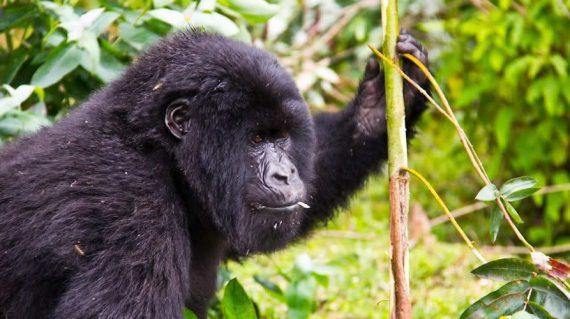 Gorilla Trekking Bwindi National Park