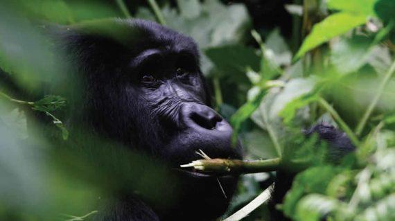 Uganda Gorilla Trekking Bwindi National Park