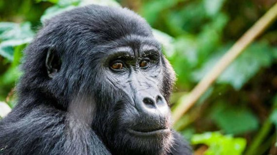 Uganda Gorilla Trekking tour