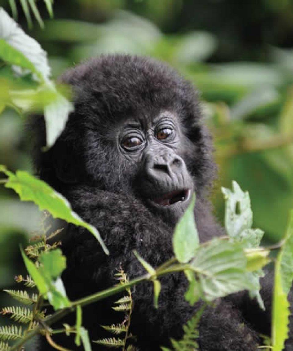 Uganda Gorilla Trekking tour to Bwindi National Park