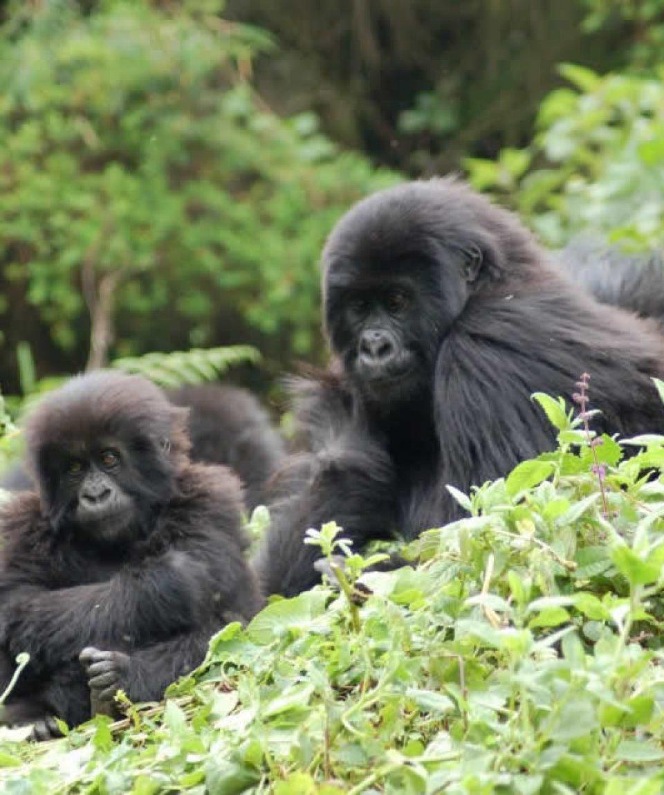 12 Days gorilla trekking and wildlife Safari tour in Uganda