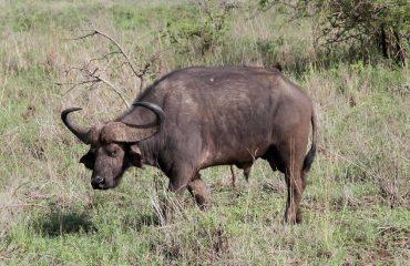 African cape buffalo in Uganda