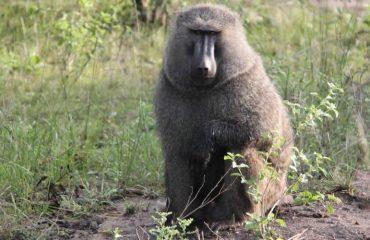 Baboons in Queen Elizabeth National park