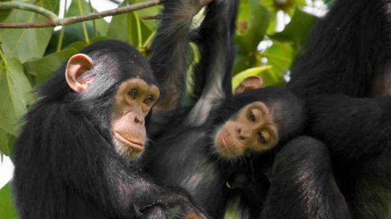 Chimpanzee Tracking Budongo forest