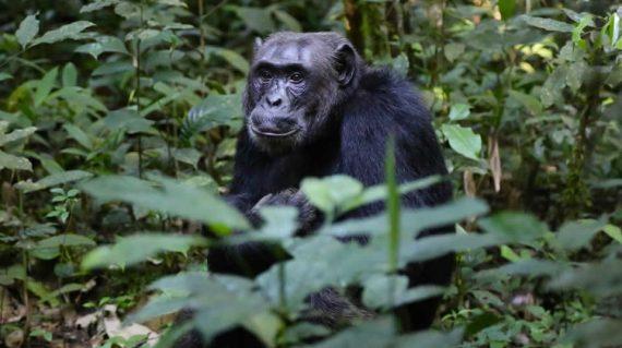 Chimpanzee in kalinzu Queen elizabeth Ntaional park