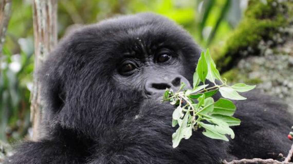 Days Uganda Gorilla Trekking And Wildlife Tours