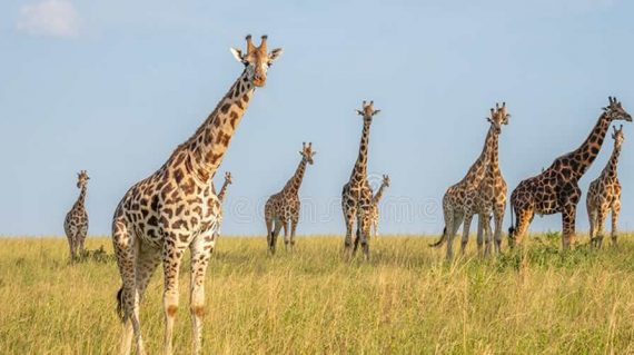 Game Drives Murchison Falls National Park