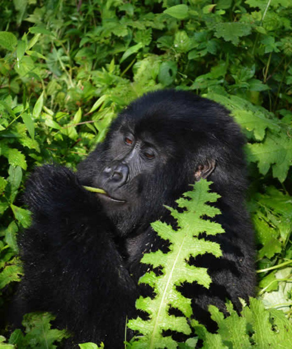 Gorilla Tracking Tours uganda and Rwanda