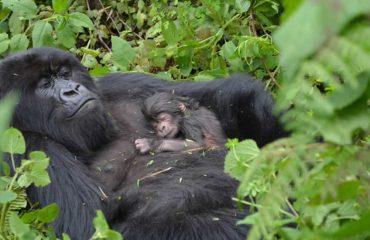 Gorilla and baby in uganda