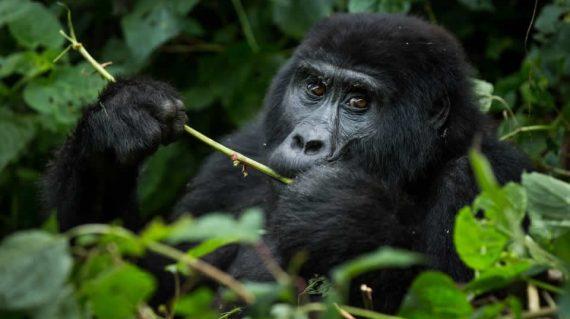 Gorilla bwindi national park