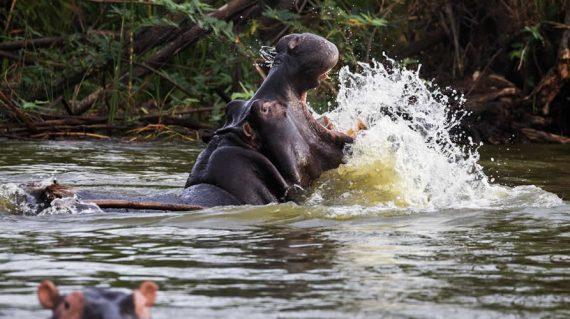 Hippopotamuse on Murchison Falls National Park