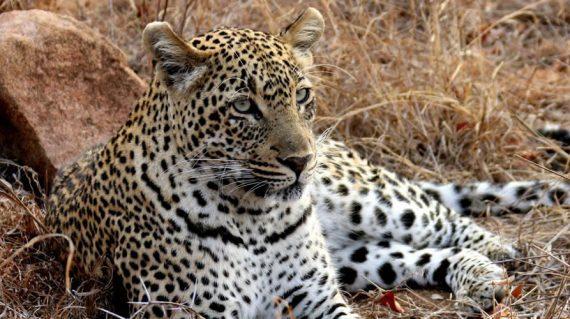 Leopard in Kidepo National Park Uganda