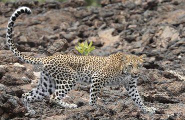 Leopard in Queen Elizabeth national park