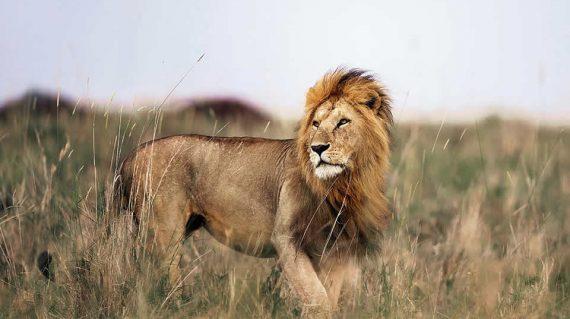 Lion in Uganda