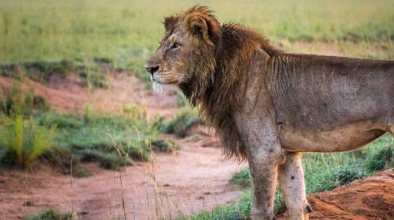 Murchison Falls Lions
