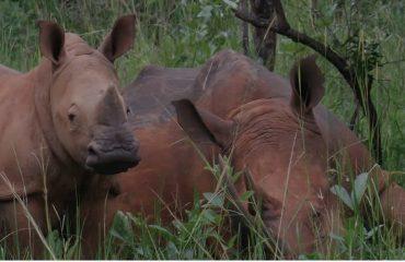 Rhinos In ziwa sanctuary