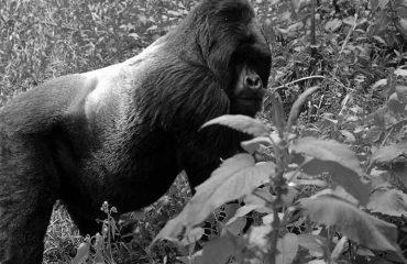 Silverback Gorilla In Bwindi forest national park