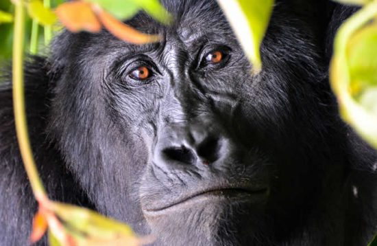 10 Days Uganda Gorilla Trekking And Wildlife Tour