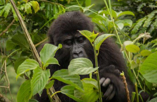 3 Days Uganda Gorilla Trekking tour to Bwindi National Park
