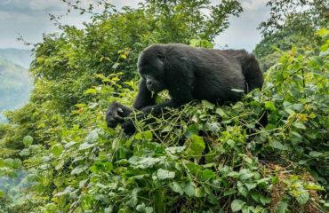Uganda Safari gorillas