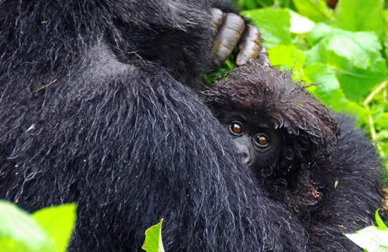 10 Days Uganda Wildlife Safari And Primate Tours