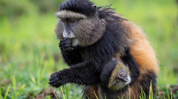 Uganda Wildlife Safari Primate Tours