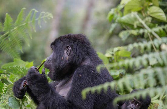 6 days Uganda gorilla safaris to Bwindi National Park