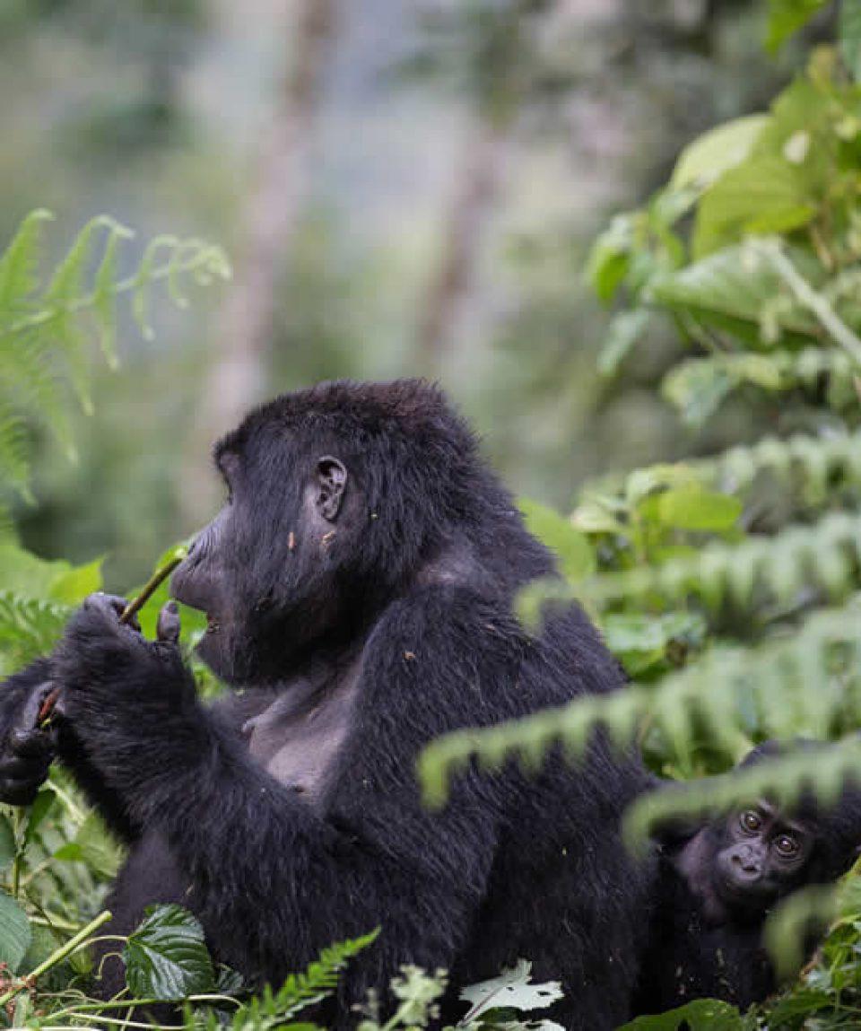 Uganda gorilla safaris and tour