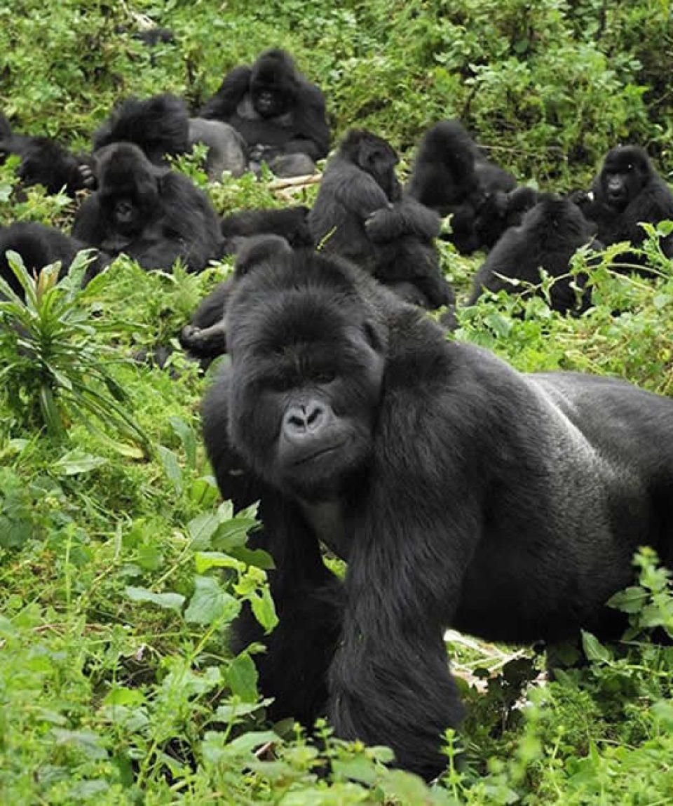 Uganda mountain gorilla trekking tour to Bwindi impenetrable national park