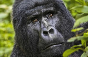 Uganda wildlife Safari With Gorilla tour