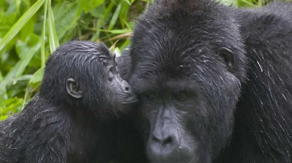 Uganda wildlife Safari With Gorilla tours