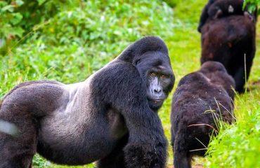 Uganda wildlife tour With Gorilla Trekking