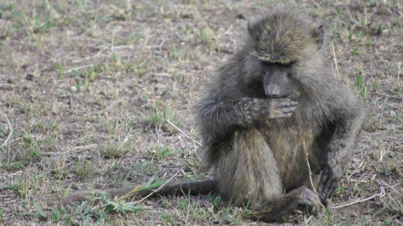 baboon in Kabalega national park