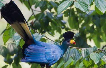 blue turaco In Uganda