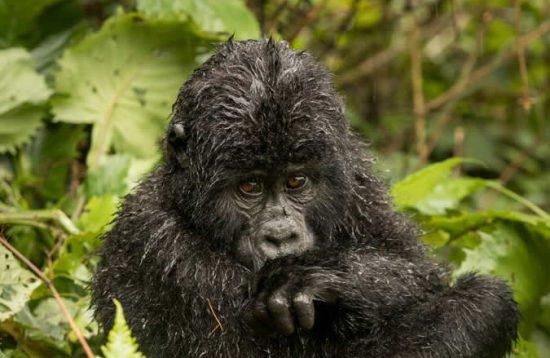 17 Days Uganda Wildlife And Gorilla Trekking Safari Tour