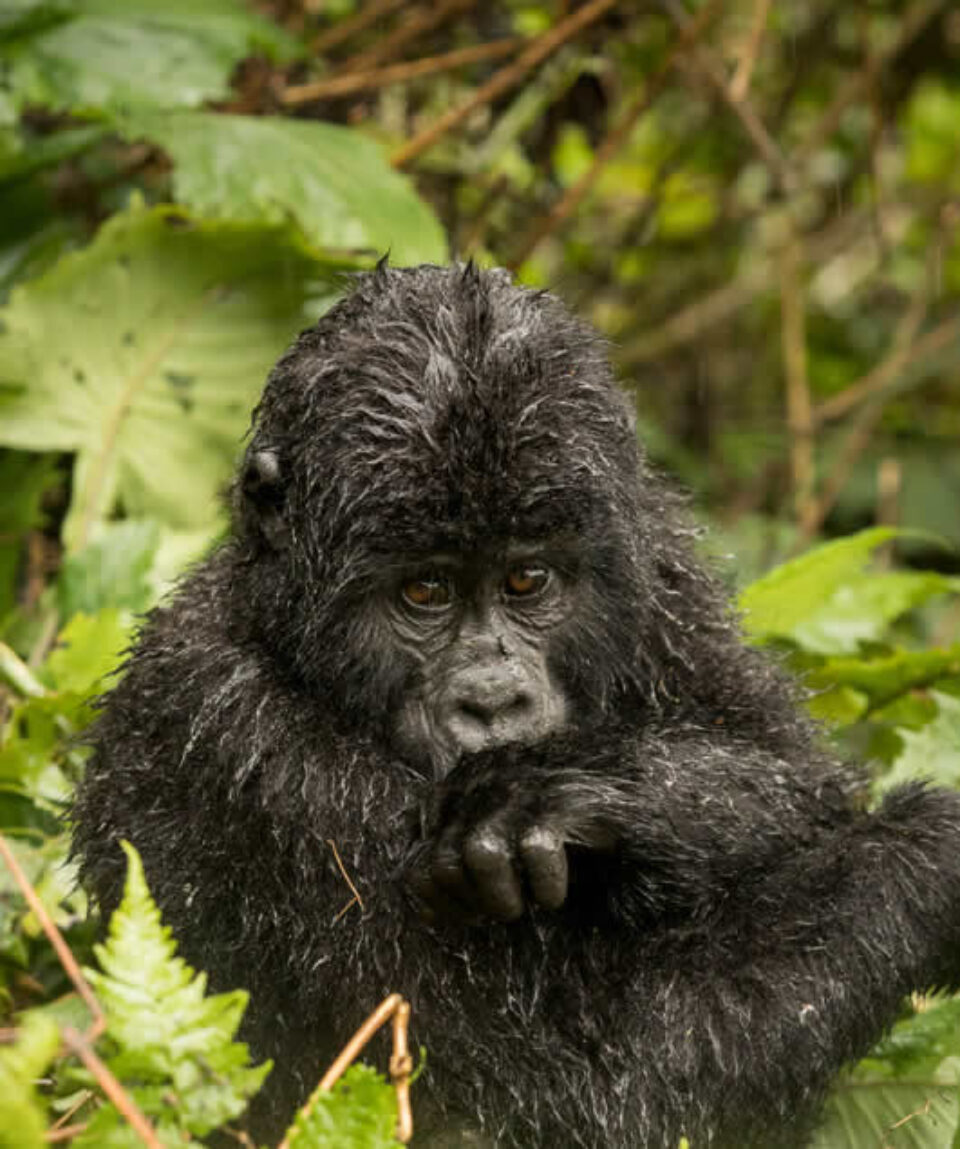 bwindi gorillas trekking