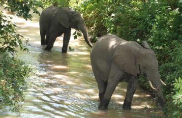 elephants uganda safaris