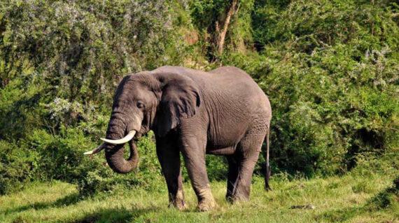 elephants uganda safaris true africa