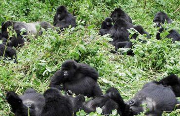 gorilla Bwindi impenetrable national park