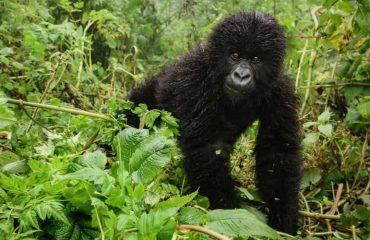 gorilla in Bwindi impenetrable national park