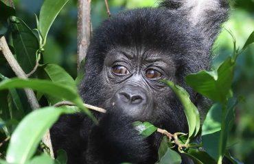 gorilla safaris to Bwindi impenetrable national park
