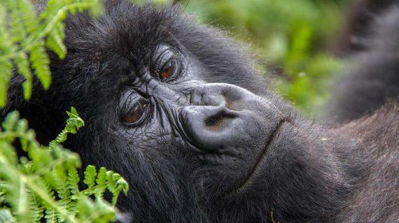 gorilla trekking and wildlife Safari tour in Uganda