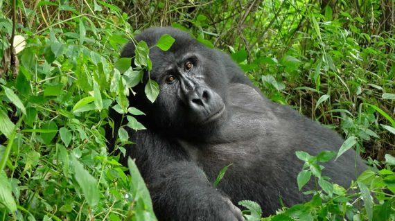 gorilla trekking tour to Bwindi impenetrable national park