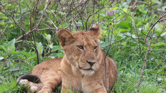 lion in uganda queen elizabeth