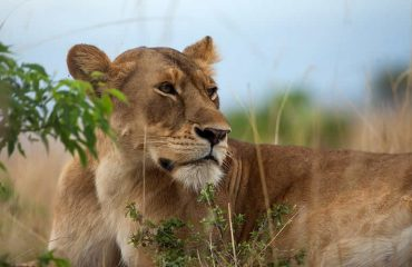 lion king on Murchison Falls National Park
