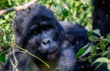 mountain gorilla trekking tour to Bwindi impenetrable national park