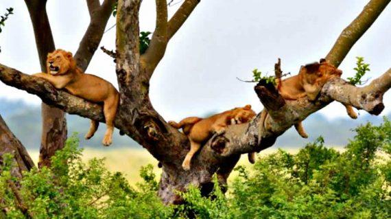 tree climbing lions in Queen Elizabeth National park