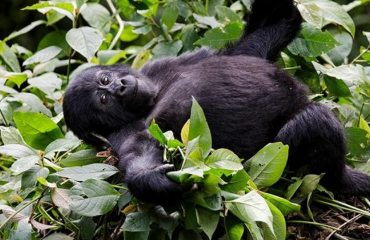 Baby Gorilla Resting