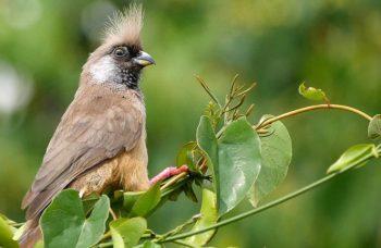 Birding Watching in Mgahinga Gorilla National Park
