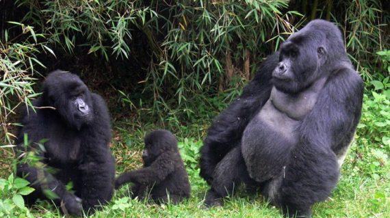 Rwanda Gorilla Trekking Safari